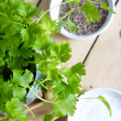 Parsley plant — Stockfoto