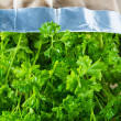 Curly parsley plant — Stockfoto