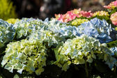 Hydrangeas at market — Stock Photo