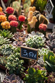 Succulents at market — Stock Photo