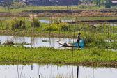 Uomo tendente idroponico giardino galleggiante sul lago inle — Foto Stock