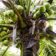 Stock Photo: Green Coconut at Tree