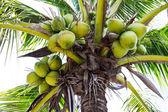 Green Coconut at Tree — Stock Photo