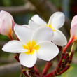 Plumeria or Frangipani flowers — Stock Photo #33085171