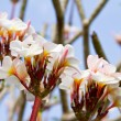 Plumeria or Frangipani flowers — Stock Photo