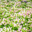 Stock Photo: Beautiful flower at Mae Fah Luang Garden,locate on Doi Tung,Thailand
