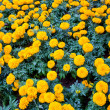 Stock Photo: Marigold flower at Mae Fah Luang Garden,locate on Doi Tung,Thailand