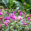 Stock Photo: Garden dahlias at Mae Fah Luang Garden,locate on Doi Tung,Thailand