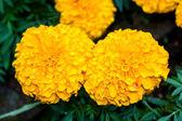 Marigold flower at Mae Fah Luang Garden,locate on Doi Tung,Thailand — Stock Photo