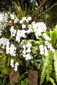 White orchid from Mae Fah Luang Garden,locate on Doi Tung,Thailand — Stock Photo