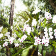 Stock Photo: White orchid from Mae Fah Luang Garden,locate on Doi Tung,Thailand