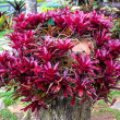 Stock Photo: Bromeliad at Mae Fah Luang Garden,locate on Doi Tung,Thailand