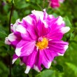 Stock Photo: Dahlias flower at Mae Fah Luang Garden,locate on Doi Tung,Thailand