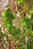 El musgo crece fuertemente en la corteza de este árbol — Foto de Stock