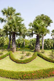 Sugar palm tree in a garden — Stock Photo