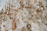 Texture tree bark of yang — Stock fotografie