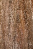 Bark of Irvingia malayana tree, tropical tree — Stock fotografie