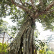 Banyan root tree — Stock Photo