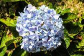 Hydrangea in full bloom — Stock Photo