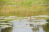 Lotus and lotus pond. — Стоковое фото
