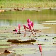Lotus grown in a pond — Stockfoto