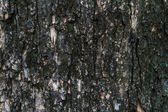 Bark texture, tropical tree in the northeast of Thailand — Stock Photo