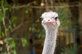 Head of an ostrich close up. — Stock Photo