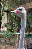 Head of an ostrich — Stock Photo