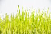 Vert herbe isolé sur fond blanc — Photo