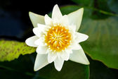 White lotus in the pond — Stock Photo