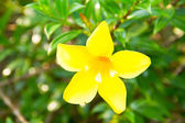 Golden Trumpet, flower or Allamanda cathartica L. — Stock Photo