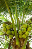 Green Coconut on tree or Cocos nucifera Linn — Stock Photo