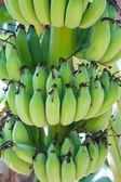 Banana tree with a bunch of bananas — Stock Photo