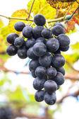Grapes close up — Stock Photo