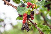 Berry fruit in nature — Stock Photo