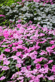 Impatiens - flower carpet background — Стоковое фото