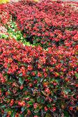 Begonia flower garden — Stock Photo