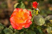 Rose in herfst tuin — Stockfoto