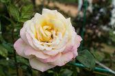 Rosa no jardim de outono — Fotografia Stock