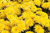 Yellow chrysanthemums flowers — Stock Photo