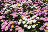 Chrysanthemum farm  in Wang Nomkiaw — Stock Photo