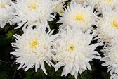 Chrysant bloemen — Stockfoto