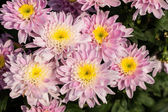Flowers of chrysanthemums — Stock Photo