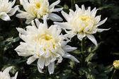 Chrysanthemum blommor — Stockfoto