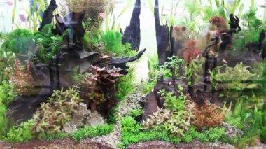 Green aquarium fish — 图库视频影像