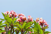 Frangipani flower or Leelawadee flower — Stock Photo