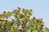 Frangipani flower or Leelawadee flower — Stock Photo