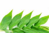 Muntingia calabura's leaf (jam tree) — Stock Photo