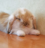 Closeup view of a lop eared bunny — Stock Photo