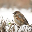 Sparrow sitting on bush in winter — Stock Photo